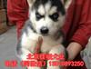 北京哪里賣哈士奇幼犬純種哈士奇專業繁殖高品質哈士奇犬