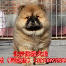 北京哪賣純種松獅幼犬肉嘴松獅賽級松獅顏色齊全,保成活圖片