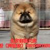 纯种松狮犬