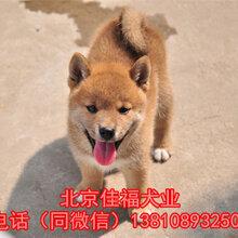 北京哪賣純種柴犬幼犬日本柴犬賽級柴犬顏色齊全,保健康圖片