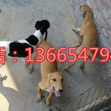 純種的格力犬多少錢一只成年格力犬價格圖片