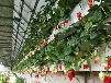草莓槽种植槽栽培槽