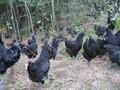 江西绿壳蛋鸡苗,东乡绿壳蛋鸡五黑鸡价格_东乡绿壳蛋鸡养殖技术图片