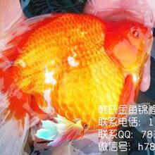 金鱼多少钱一斤-韩氏金鱼锦鲤批发销售图片