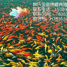 现在锦鲤批发多少钱一斤-韩氏金鱼锦鲤批发销售图片