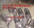 农达生态养殖出售太湖猪仔猪图片