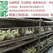 铜仁鹅苗养殖铜仁鹅苗批发铜仁鹅苗价格图片