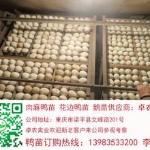 长寿鸭苗养殖长寿鸭苗批发长寿鸭苗市场图片