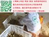 廣西土雞苗批發價格廣西哪里有好的土雞苗廣西蛋雞產蛋率高