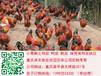 铜仁土鸡苗批发铜仁瑶鸡市场铜仁香鸡养殖技术