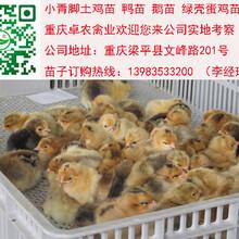重庆土鸡苗最近价格南川哪里有优质土鸡苗供应