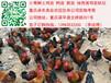 四川香鸡苗批发价格行情绵阳哪里有优质香鸡苗供应