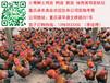 贵州青脚土鸡苗批发行情遵义黑土鸡苗最近市场