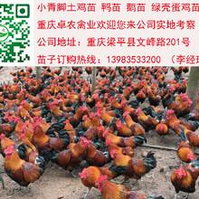 松桃香苗鸡最近批发价格求购松桃周边正宗香鸡苗