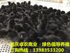 贵州遵义黑土鸡苗批发价格习水哪里有黑鸡苗养殖技术黑鸡苗大图片