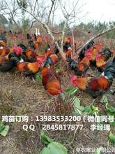 铜仁香鸡苗批发行情铜仁哪里有优质香鸡苗供应