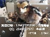 贵州香鸡苗多少钱一只石阡哪里有正宗的香鸡苗批发