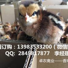 遵义哪里有优质成活率高的香鸡苗供应商香鸡3号苗价格