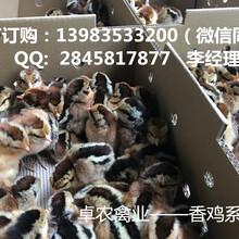 重庆香鸡苗供应价格光云阳黑鸡苗供应商电话