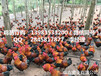 四川香鸡苗最近报价自贡哪里有优质香鸡苗供应商电话
