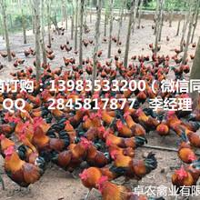 四川香鸡苗最近批发价格营山最近香鸡苗报价