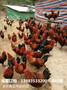 荣县哪里有香鸡苗供应荣县香鸡苗最近报价图片