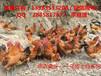 浙江乌皮红羽土鸡的营养价值高浙江乌皮土鸡苗养殖市场好