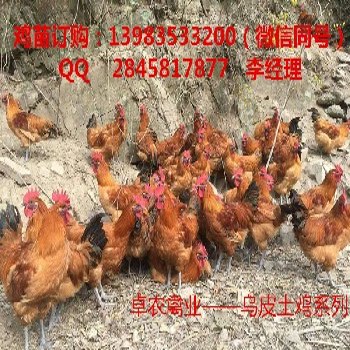 邻水养殖乌皮红羽土鸡苗最近市场走势邻水乌皮土鸡苗价格