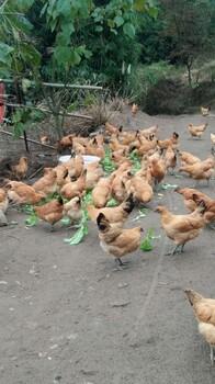南川周边乌皮土鸡的价格天天涨,但消费者就喜欢这种土鸡
