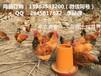 毕节乌皮红羽土鸡苗价格毕节乌皮红羽土鸡苗养殖市场
