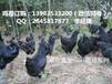 福建黑乌鸡苗最近市场平潭黑鸡苗最近报价与图片