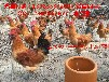 宣汉近年来乌皮红羽土鸡市场走俏,肉质鲜美售价高