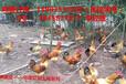 永川为什么近年乌皮土鸡养殖市场大,消费者喜爱