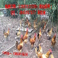 永川近年乌皮土鸡养殖市场大,消费者喜爱图片