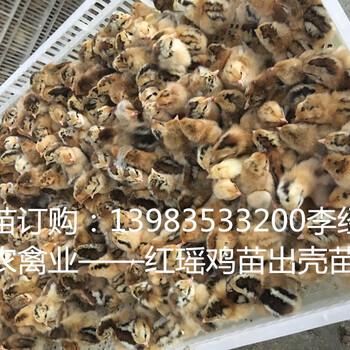 巴中地区养殖红瑶土鸡市场前景好,政府大力打造巴山土鸡品质