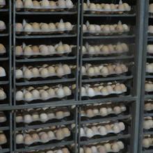 重慶本地雞苗供應潼南本地跑山土雞苗,香雞苗,黑雞苗養殖基地圖片