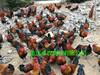綏陽香雞苗批發價格遵義地區香雞苗養殖基地