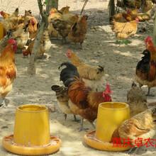 重慶土雞苗供應秀山土雞苗多少錢一只圖片