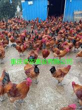 求購正安周邊紅瑤土雞苗批發商電話養殖紅瑤雞苗場地要求圖片