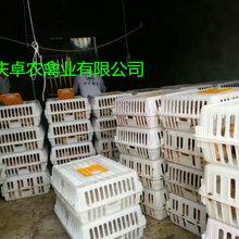 壁山養殖麻烏雞苗市場行情麻烏雞苗養殖技術圖片