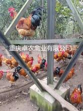 甘肅本地土雞苗供應天水青腳土雞苗黑雞苗行情圖片