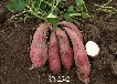 徐州脱毒红薯苗批发,硕龙果蔬值得信赖的选择