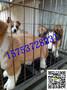 柯基犬多少钱一只,双色/三色柯基犬出售图片