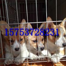 重庆哪里有柯基犬出售,柯基多少钱一只,怎么驯养柯基犬图片