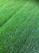 房山草坪绿化基地供应高羊茅早熟禾绿化草坪月季涿州固安特价