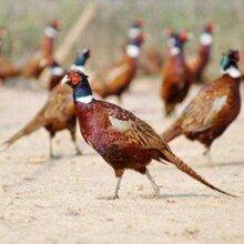 山雞價格大型山雞養殖場成年野雞商品山雞山雞苗圖片