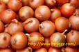 供應優質洋蔥種子批發價格北島黃皮洋蔥