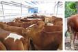 山西忻州肉牛養殖場
