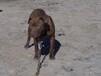 什么品种的狗好养,大型肉狗,猎犬,斗犬和宠物犬,包养殖技术和运输