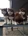 四川南充大型巨犬養殖場招加盟,純種名犬,斗犬,斗犬和寵物犬價格,我場包回收